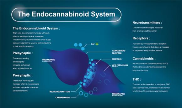 Benefits of CBD. The endocannabinoid system diagram.